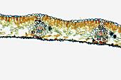 Gingko leaf, vascular bundle, xylem, phloem, primitive vascular tissue, 100 X optical microscope, photomicrography, plant anatomy, botany