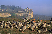 Geese in front of Belcastel castle, Belcastel, Dordogne, France