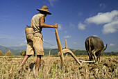 Rice harvest, man ploughing his fields, Hsipaw, Myanmar