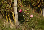 Vineyard, rose flowers in front of vine to detect vine diseases, Maine et Loire, France