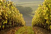 Vineyard, Maine et Loire, France