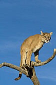 A Cougar Stands in a Tree to Get a Better Look