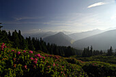 Mountain landscape with alpenrose, rhododendron, Tirol, Austria