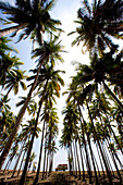 American School bus in a palm grove, Pasquales beach, Colima, Mexico