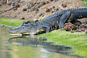 Alligator, Alligator mississippiensis, Alligators, American, Color, Colour, A06-758731, agefotostock