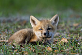 Beauty, Color, Colour, Competition, Fox, Nature, Preservation, Pups, Red fox, Survival, Wildlife, A06-758735, agefotostock