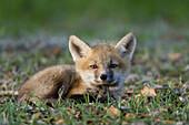 Farbe, Fuchs, Junge hunde, Konkurrenz, Natur, Roter Fuchs, Schönheit, Schutz, Überleben, Verheerendes feuer, Wettbewerb, A06-758735, agefotostock