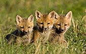 Farbe, Fuchs, Junge hunde, Konkurrenz, Natur, Roter Fuchs, Schönheit, Schutz, Überleben, Verheerendes feuer, Wettbewerb, A06-758743, agefotostock