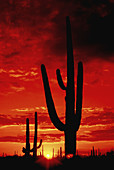 The sun sets in Saguaro National Park West in the Sonoran Desert near Tucson, Arizona, USA.