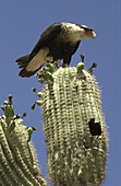 A Crested Caracara polyborus plancus,  a bird of prey that is a member of the falcon group,  nests in a saguaro cactus east of Sells,  Arizona,  on the Tohono O´odham Nation in the Sonoran Desert,  USA