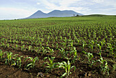 El Salvador.  Agricultural landscape of the Zone Central. Corn field. Volcano Izalco,  Cerro Verde and Santa Ana or Llamatepec (left to right).