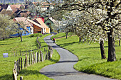 Man on country road lined with blooming apple trees and village, Alsace, France