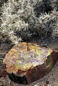 Petrified log along Agate House Trail, Petrified Forest National Park, Arizona, USA