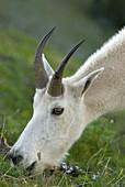 Mountain goat (Oreamnos americanus) near Mt Angeles, Olympic National Park, Washington, USA