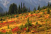 Autumn huckleberry and spirea with fir at Paradise, Mt Rainier National Park, Washington, USA