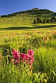 Yakima Park wildflower meadow, Mt Rainier National Park, Washington, USA
