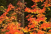 Vine maple (Acer circinatum) with Douglas fir (Pseudotsuga menziesii), Gifford Pinchot National Forest, Washington, USA