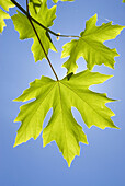 Bigleaf maple leaves, Mt Hood National Forest, Columbia River Gorge National Scenic Area, OR