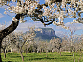 almond trees, blossoms, with the mountain Puig son Cadena in the background, near Alaro, Tramuntana Mountains, Majorca, Balearic Islands, Spain