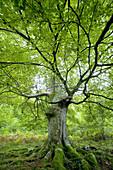 Beech tree  Ason valley, Cantabria, Spain, Europe