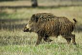 Wild Boar (Sus scrofa). Sierra de San Pedro, Extremadura, Spain