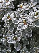 Blatt, Blätter, Farbe, Frost, Reif, Vertikal, Winter, XM8-765504, agefotostock