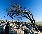 Trees on Limestone Pavement (winter), Twistleton Scar, Yorkshire, UK, England