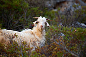 A goat standing amidst bushes, Turkey, Europe