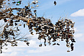 View towards a branch of a tree in which thousands of shoes are hanging, Good Luck Tree, US Highway 50, Middlegate, Nevada, USA