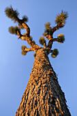Joshua Tree at Sunset, Joshua Tree National Park, Twentynine Palms, California, USA