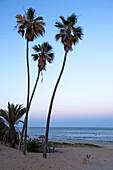 Three palm trees on the beach, a dog is sitting on the beach, sunset, Nine Palms, Baja California Sur, Mexico