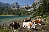 Fünf Kühe liegen vor Gebirgssee, Seebensee, Ehrwald, Tirol, Österreich