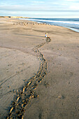 Child crawling over the beach towards birds, trail in the sand, Punta Conejo, Baja California Sur, Mexico