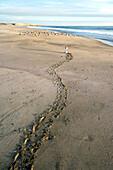 Eine Krabbelspur von einem Kind am Strand, Punta Conejo, Baja California  Süd, Mexiko
