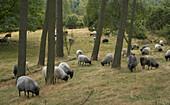 German heath grazing, Hohe Mark, Muensterland, North Rhine-Westphalia, Germany
