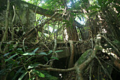 Overgrown ruins in the jungle, Corregidor Island, Manila Bay, Philippines, Asia
