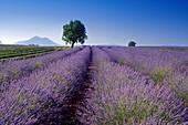 Almond tree in lavender field under blue sky, Plateau de Valensole, Alpes de Haute Provence, Provence, France, Europe