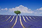 Almond tree in lavender field in front of clouded sky, Plateau de Valensole, Alpes de Haute Provence, Provence, France, Europe
