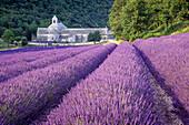 Klosterkirche Abbaye de Senanque im Lavendelfeld, Vaucluse, Provence, Frankreich, Europa