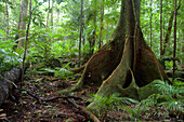 Buttress roots of Giant Fig Tree, Trees, Natural World