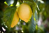 Two lemons in dappled sunlight, Lemons, Food & Drink