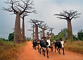 Ox Cart in avenue of baobab trees, Morondava, near, Madagascar
