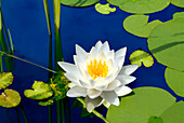 Close up of white waterlily, Waterlily, Flowers and Foliage, Natural World