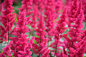 Close up of astilbe, Flowers and Foliage, Natural World