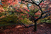 Japanese Maple, Trees, Natural World