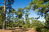 Pine forest, El Fayal, La Palma, Canary Islands