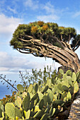 Dragon tree and cacti, Puntagorda, La Palma, Canary Islands