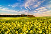 Rural scenery, rape field, General, Poland