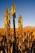 Blühende Aloe Vera Pflanzen auf einem Feld, Valles de Ortega, Fuerteventura, Kanarische Inseln, Spanien, Europa