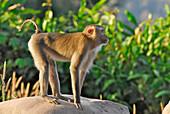 Monkey in Khao Yai National Park, Province Khorat, Thailand, Asia